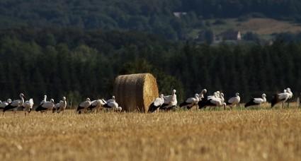 Cigogne blanche 2.JPG